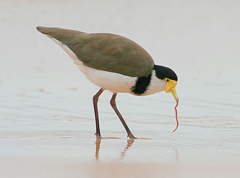 File:Masked Lapwing with worm.jpg