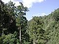 Mature rimu trees in Karapoti Gorge.jpg