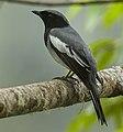 McGregor's Cuckoo-Shrike - Mindanao - Philippines H8O1251 (16405721194) (cropped).jpg