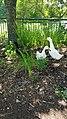 Melanistic Pekin Duck 5.jpg