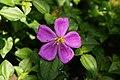 Melastoma malabathricum 3070.jpg