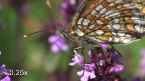 File:Melitaea britomartis - Steinhilben 2011.ogv