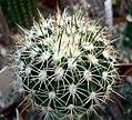 Melocactus dawsonii.jpg