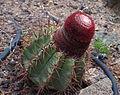 Melocactus matanzanus à Oasis Park.jpg