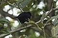 Melodious Blackbird - Zamora Estate - Costa Rica MG 5519 (26707515665).jpg