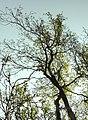 Melolontha hippocastani fg07.JPG