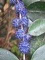 Memecylon umbellatum flowers at Peravoor (22).jpg
