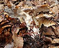 Meripilus giganteus. Giant Polypore - Flickr - gailhampshire (1).jpg
