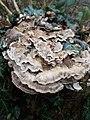 Meripilus giganteus 109084220.jpg