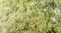 Micro-herbier MD dbt juillet 2015.JPG