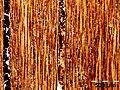 Mikroskopische Ansicht der Diospyros celebica im Tangentialschnitt.jpg
