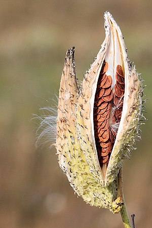 Dehiscence (botany) - Dehiscence of the follicular fruit of milkweed (Asclepias syriaca) revealing seeds within