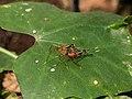 Mimegralla albimana 80.jpg