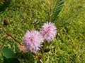 Mimosa pudica (504309464).jpg