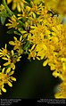 Minute bees on goldenrod (Apoidea) (31102442445).jpg
