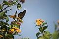 Monarch Butterfly - Danaus plexippus (5882862696).jpg