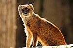 Mongoose - Newquay Zoo (15318303340).jpg
