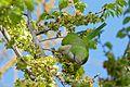 Monk Parakeet (Myiopsitta monachus) eating elm seeds ... (26050092824).jpg