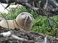 Monk seal spotted eel - French Frigate Shoals.jpg