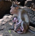 Monkeys at Dudhsagar falls.JPG