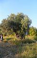 Monumental tree, Mersin Prov., Turkey.jpg