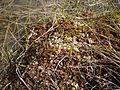 Moospflanze 2.JPG