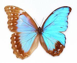 Morpho didius - Morpho didius  This specimen is a gynandromorph (Musée d'histoire naturelle de Lille).