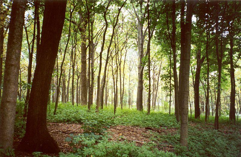 Morton Arboretum woodland.jpg