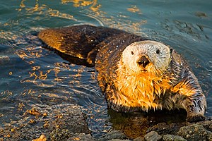 English: Sea Otter in Moss Landing. Original I...