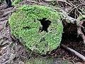 Moss covered log in Yakusugi Land.jpg