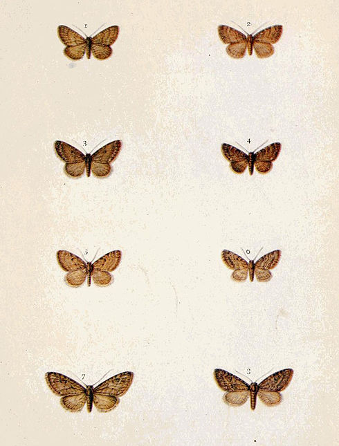 Moths of the British Isles Series2 Plate098.jpg