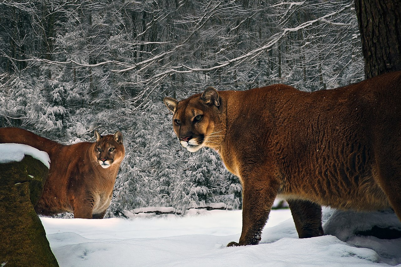 Mountain Lion Vs Dog Video