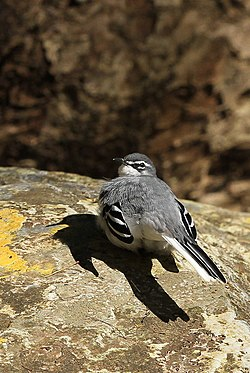 Mountain wagtail (or Long-tailed Wagtail), Motacilla clara at Lekgalameetse Nature Reserve, Limpopo, South Africa (14582922867).jpg
