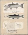 Mugil cephalus - 1700-1880 - Print - Iconographia Zoologica - Special Collections University of Amsterdam - UBA01 IZ13800037.tif