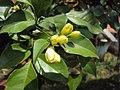 Murraya paniculata 03.JPG