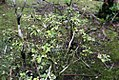 Murraya paniculata 13zz.jpg
