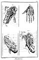 Muscles- feet and hand Wellcome L0006624.jpg