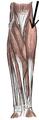Musculus brachioradialis.PNG