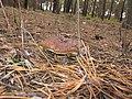 Mushroom - panoramio (2).jpg