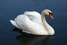 Peaceful Swan surrounded by Deep Blue Water