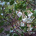 N20141030-0067—Arctostaphylos manzanita—RPBG (15682449326).jpg