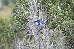 NASA Kennedy Wildlife - Florida Scrub Jay (4).jpg