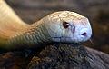 Naja kaouthia albino Genève 24102014 C 2.jpg
