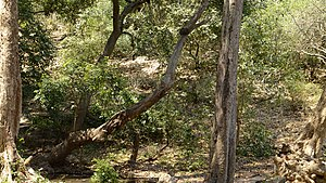 Central Deccan Plateau Dry Deciduous Forests - Nallamalla forests at Srisailam