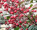 Nandina bush berries.jpg