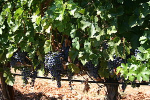 Farm winery vineyard in Napa