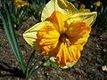 Narcissus (Orangery cultivar), Real Jardín Botánico, Madrid.jpg