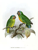 Drawing of two green parrots with orange faces and blue crowns, one with orange chest