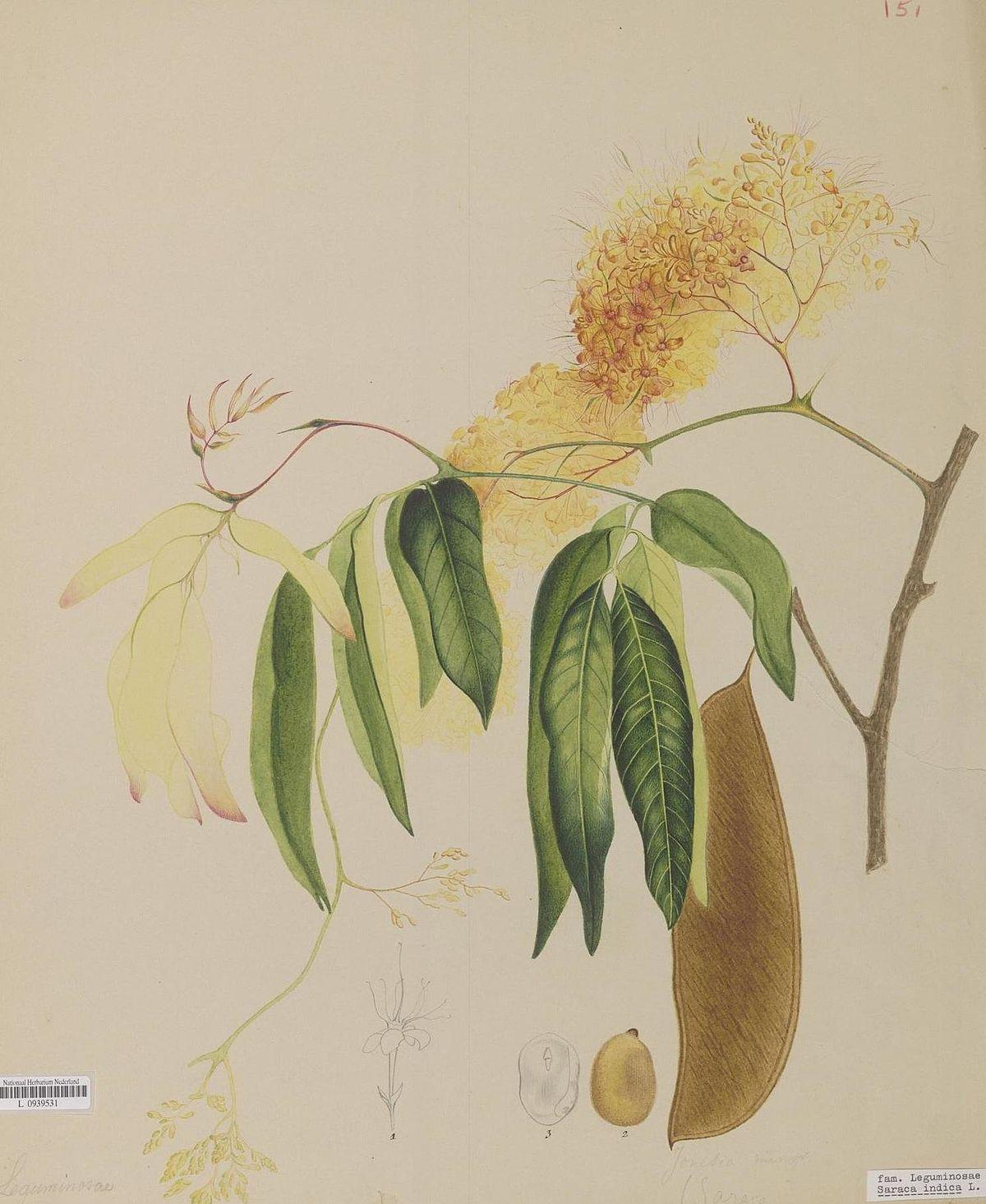Saraca Indica Wikipedia Simple Plant Diagram