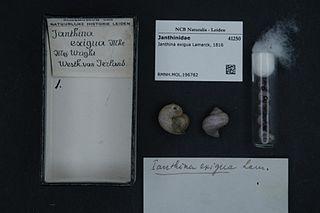 <i>Janthina exigua</i> species of mollusc